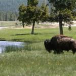 """""""Buffalo Bull"""" by ByronMorrisArt"""