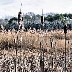 """CATTAILS  EARLY  WINTER"" by Clipprx"