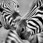 """Zebras in Black and White"" by LauraM"