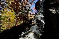 Fallen Birch,  Antrim New Hampshire