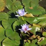 """Water Lillies (6)"" by LMixedup"