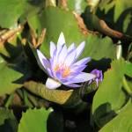 """Water Lillies (7)"" by LMixedup"
