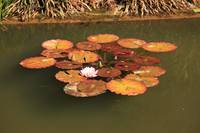 Water Lillies (10)