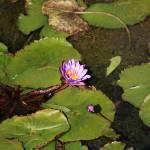 """Water Lillies (12)"" by LMixedup"
