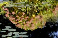 Ladew Garden Hydrangea Pond Reflection