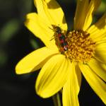 """""""Wild Daisy with Bug"""" by SSamuelson"""