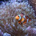 """Amphiprion ocellaris - Ocellaris Clownfish"" by BenSmith"