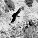 """""""Flight of the Simien Crow"""" by JamesBWells"""