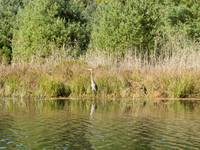 Blue Heron in the Weeds