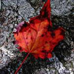 """Maple Leaf"" by bavosiphotoart"