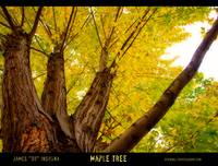 Maple Tree - Poster