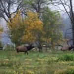 """""""Bull Elk Following Cow Elk"""" by jones3006"""