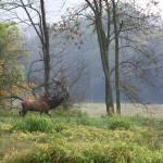 """Bull Elk Bubling"" by jones3006"