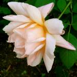 """Peach Rose 3"" by Corbett"