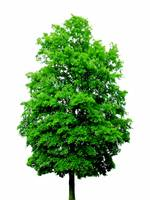 Big green tree on white background copia