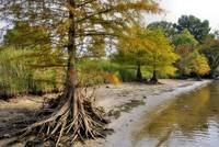 Riverbank Cypress