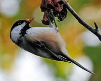 Black-capped Chickadee in The Apple Tree
