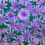 """Purple Daisies"" by sharonblanchard"