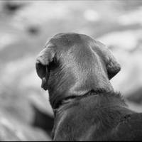 Chocolate Lab- gazing