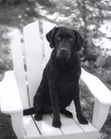 Chocolate Lab in Chair