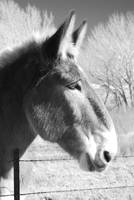 Mule Black and White