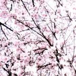 """""""Sakura"""" by LisaMarieDemarte"""
