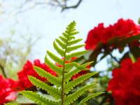 Green Fern art prints Red Rhododendrons Flowers