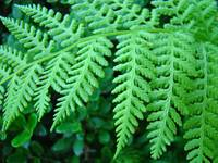 Green Forest Fern Fronds art prints Baslee