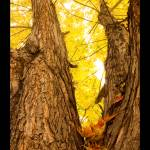 """Maple Tree Three Poster Print"" by lightningman"