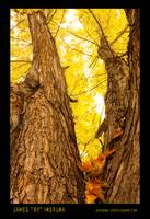 Maple Tree Three Poster Print