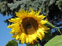 Sunflower in St. Ignace MI.
