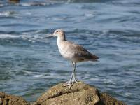 Willet at Corona Del Mar