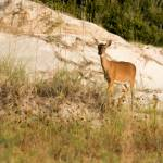 """Cumberland Deer"" by susanphotos"