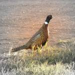 """""""Pheasant - Focal B&W"""" by nankysphotos"""