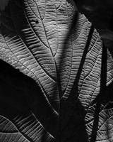 Abstract Leaf In Black & White