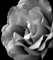 Rose     0368 Black and White Edition
