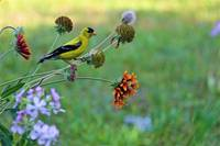 Yellow Finch 2