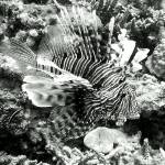"""Lionfish"" by Thermocline"