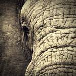 """Elephant Eye"" by kimbsteinberg"
