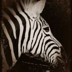 """Zebra Antique"" by kimbsteinberg"