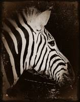 Zebra Antique