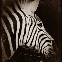 Zebra Antique Art Prints & Posters by Kim Steinberg