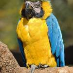 """Blue & Gold Macaw"" by photocell"