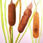 """""""Cattails"""" by RLHall"""