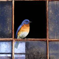 """barn window / eastern bluebird"" by rchristophervest"