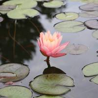 Waterlilly Bud