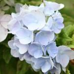 """Blue Hydrangea"" by KatieBPhoto"