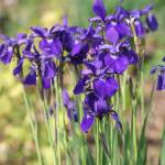 """Purple Irises"" by KatieBPhoto"