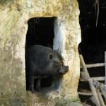 """Troglodyte Pig"" by RandiKuhne"