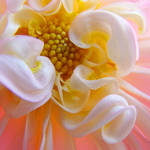 """Floral art prints pink white Dahlia Flower Baslee"" by BasleeTroutman"